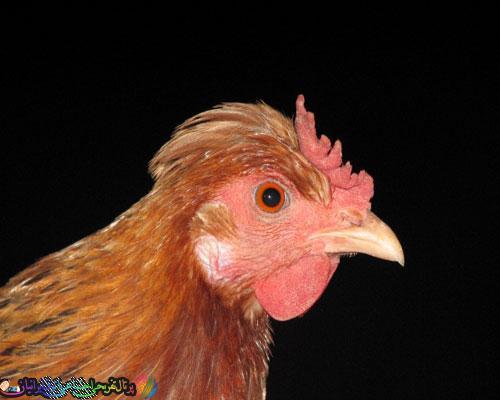 مرغي كه ۱۴ میلیون تومان فروخته شد-عکس